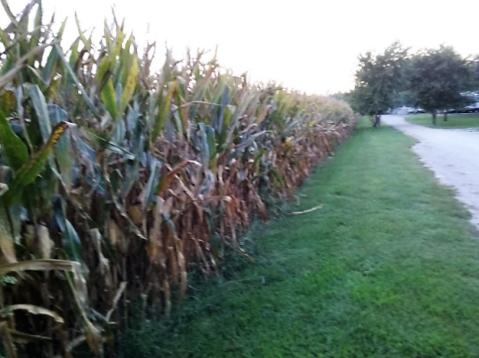 Timber Trails corn
